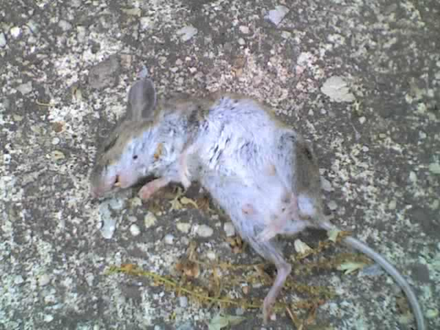 Brother s dead mouse